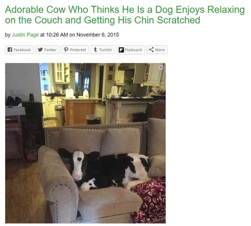 cow who thinks its a dog